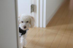 家で独り留守番する寂しそうな犬