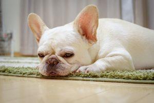 太って運動を嫌がるようになった室内犬のイメージ